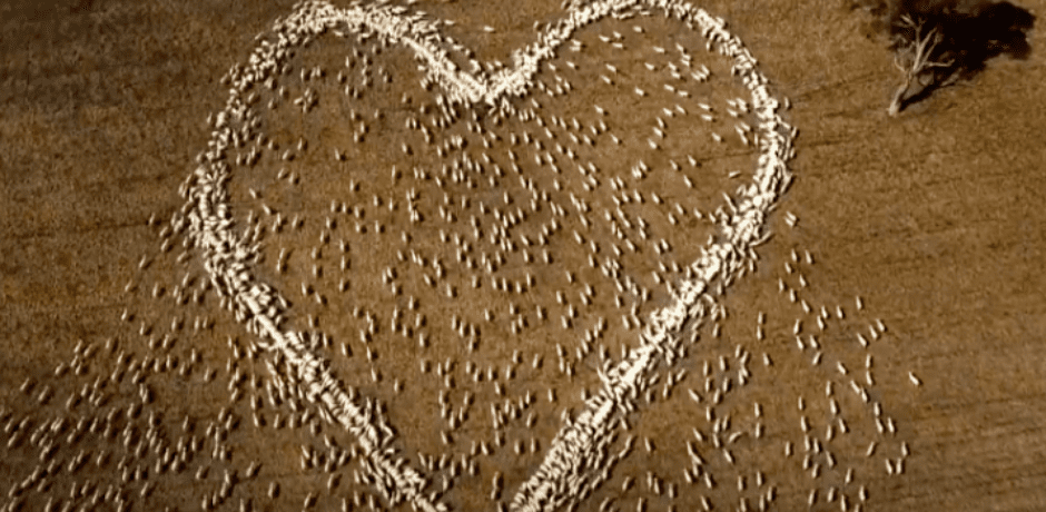 Unable To Attend Aunt's Funeral Due To Covid Restrictions Farmer Sends Message Of Love Shot From Above – Arranges Sheep Feed In Heart Shape  – Drone Captures The Amazing Results [VIDEO]
